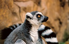Posing ( B i b b i ) Tags: film canon zoo sweden stockholm scan lemur sverige skansen openairmuseum friluftsmuseum