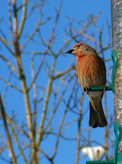 House Finch (shesnuckinfuts) Tags: red cold male birds outdoors backyard birdfeeder snack animalplanet housefinch birdbrained snowyday carpodacusmexicanus kentwa november2006 featheryfriday ilovebirds experiencewa animaladdiction karmafavorite shesnuckinfuts washingtonstatewildlife blackoilsunflowerseeds