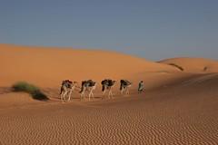 Mauritania (John Spooner) Tags: africa sun sahara four sand desert walk dunes dune transport camel journey creativecommons caravan baggage burden mauritania mauritanie cameltrain i500 johnspooner