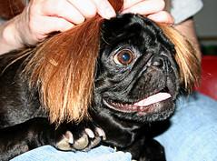 pug toupee (phantom kitty) Tags: black hair pug nigel toupee