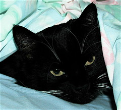 Kitty Peering Out from Under the Sheets Color (Shawn's Kitty (Busy Healing!)) Tags: color cat kitty tuxedo undercovers kittysuperstar kissablekat lofdec kittyschoice