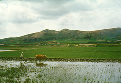 1960 South Korea ~ Rice Farming (Smothers52) Tags: korea ox 1960 ricefarming