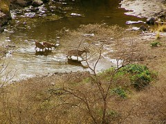 Chital fording a nullah