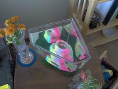 Bubblenest (Sarah Cady) Tags: fish betta bubblenest