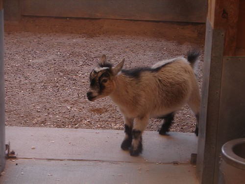 Opinion Midget with goat for