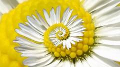 a daisy fractal