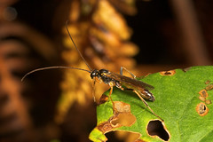 "Ichneumons Wasp (Pimpla hypochondriaca) • <a style=""font-size:0.8em;"" href=""http://www.flickr.com/photos/57024565@N00/254030690/"" target=""_blank"">View on Flickr</a>"