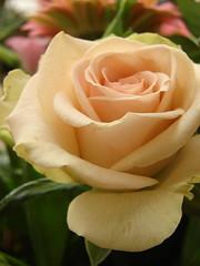 have a nice weekend (Alieh) Tags: flower macro rose aliehs alieh