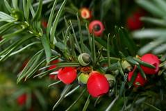 yew berries2 - by Muffet