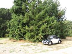 1950 Hebmuller (jessicafm) Tags: california car bug volkswagen switzerland vintagecar automobile unitedstates beetle convertible 1950 jeffersonstarship hebmller coachbuilt hebmueller