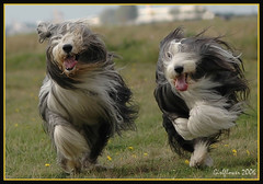 Happy furry Friday!!! Moos and Cleo racing!!! (girlflower) Tags: hairy dog pets dogs bravo running hond racing cleo beardie beardedcollie moos abigfave kkfav