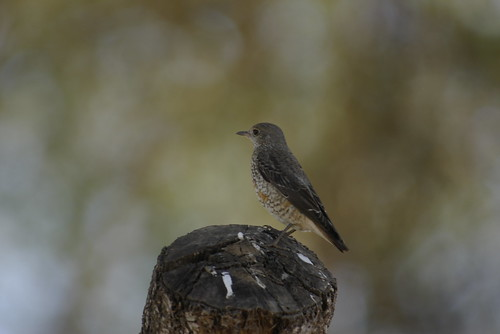 Chestnut-tailed Rock Thrush, Common Rock Thrush, Common Rock-Thrush, European Rock Thrush, European Rock-Thrush, Mountain Rock Thrush, Mountain Rock-Thrush, Rock Thrush, Rock Trush, Rock-Thrush, Rufous-tailed Rock Thrush, Rufous-tailed Rock-Thrush, White-backed Rock Thrush, White-backed Rock-Thrush, Monticola cyanus, Monticola saxatalis, Monticola saxatilis, Roquero Rojo, Merle de roche, Merle-de-roche, Monticole de roche, Monticole merle-de-roche, Codirossone, Codirossone eurasiatico, Pyostry Kamenny Drozd, Дрозд каменный пестрый, Дрозд пестрый каменный, Пестрый каменный дрозд, Пёстрый каменный дрозд, سمنة الصخور, سمنة شيانية,  Rode Rotslijster,  melro azul, melro das rochas, Melro-azul, Melro-das-rochas, 白背矶鸫,