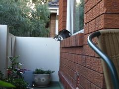 Distracted! (End of Level Boss) Tags: pet cats cute cat garden kat feline chat pussy sydney australia 2006 domestic gato nsw katze mace verandah cath  macska  gatti kot gat koka kedi kass  katt  kissa kttur maka kucing pusa mo     foofoo kat  kais kogarah   pisic