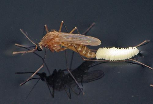Culex quinquefasciatus Ovipositing