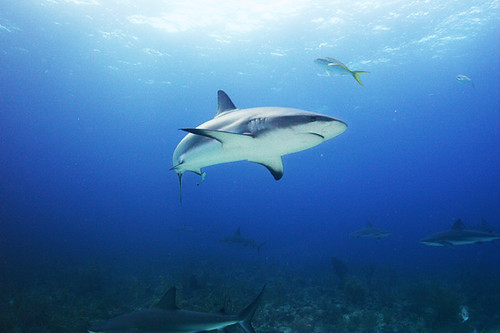 Reef Shark in the Bahamas