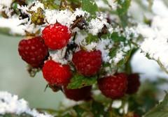 Good-bye Raspberries (CaptPiper) Tags: snow october michigan raspberries