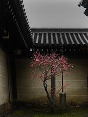 Higashi-Honganji temple (Masahiro Makino) Tags: japan wall temple kyoto plum olympus e1 higashihonganji  p1f1 favoritegarden soldatgettyimagesapril2012