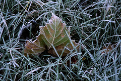 Frosted Leaf (Photofarrell) Tags: color nature lines tag3 taggedout rural ilovenature outdoors cool tag2 tag1 country d70s indiana 1870mmf3545g stills