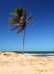 Coconut tree Caupe (Kak) Tags: ocean sea brazil hot tree praia beach water brasil canon geotagged outdoors coast seaside sand surf coconut dunes playa palm cear cq digitalrebelxt nordeste mucuripe kak sigma1770f2845dcmacro praiadecumbuco lagoadocaupe geolat3572874 geolon38790493