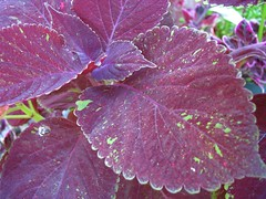 Coleus 'Dappled Apple Baby #2'
