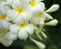 (Pink Hibiscus) Tags: flowers white flower yellow d50 hawaii nikon oahu plumeria 2006 nikond50 explore tropical frangipani allrightsreserved copyrighted tropicalflowers iloveit plumi interestingness27 i500 pinkhibiscus abigfave bonzag explore25oct06 passionforplumeria