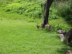 IMG_2310.JPG (t_feiler) Tags: hawaii oahu hanaumabay mongoose