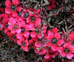 Western Australian Flowers - Myrtle