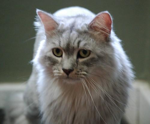 a beautiful light gray she cat