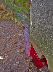 Slaktetid (Jan Egil Kristiansen) Tags: blood sheep sau drain slaughter shit mementomori bleak muck dri feces blod trshavn hoyvk slakt bl mkk dscf0086 avlp sey 200410161518 downisup bloodystream