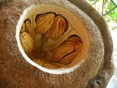 Brazil nut opened (Chennette) Tags: pod open inside nut sapucaia brazilnut monkeypot lecythispisonis paradisenut