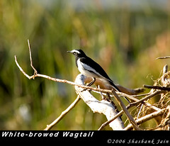 White-browed Wagtail (The World Through My Eye) Tags: nikond70 mekedaatu whitebrowedwagtail motacillamadaraspatensis largepiedwagtail nikon300mmf4 cauverysangama
