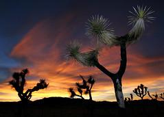 j-tree sunset (Sara Heinrichs (awfulsara)) Tags: blue sunset orange flash joshuatree joshuatreenationalpark topf400