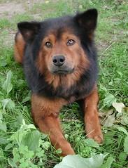 Chubby the dog #2 (Scott Kinmartin) Tags: dog lion retriever chow chubby