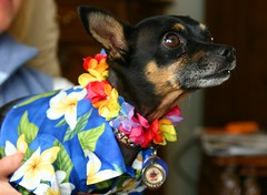 Paco says aloha (petebeck) Tags: dog chihuahua lei really furryfriday paco hua aloha hawaiianshirt dogclothes imnotcrazy impressedbeauty