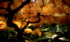 (Double) Visions of Fall (Zeb Andrews) Tags: autumn orange tree green fall film oregon portland landscape doubleexposure surreal japanesemaple ethereal pacificnorthwest fujivelvia50 nikonfm2n bluemooncamera zebandrews abigfave portlandsjapanesegardens zebandrewsphotography