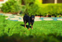 Toy Dog (RottieLover) Tags: dog pet pets dogs animal animals photoshop puppy miniature puppies nikon fake rottweiler d200 vesuvio rottie rottweilers tiltshift 18200mm rotties 18200mmf3556gvr mrsu tiltshift12 vesu