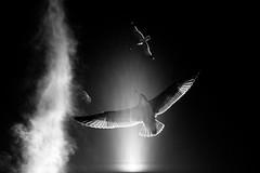 . (bitmapr) Tags: bw birds darkness seagull suburbia bitmapr naveenjamal img9727 wnwbirds suburbiaedit1 wnwthebirds suburbia1 inkitwell suburbia1219