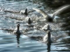 Haast! (kattenspul) Tags: geese ganzen dordrecht sloot rushing animaladdiction animalkingdomelite abigfave haastig