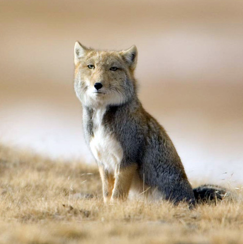 Behold the Exquisite (with a capital E) Tibetan Fox