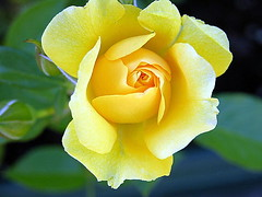 ... it is time to smell the roses ... (katifelkai) Tags: november flowers autumn roses wow garden mygarden bonza yellowpetals gtaggroup abigfave