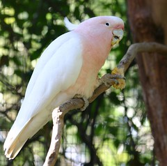 Pink Cockatoo (Vidura :)) Tags: birds animals canon300d parrot australia melbourne melbournezoo cockatoo digitalrebel pinkcockatoo majormitchellscockatoo