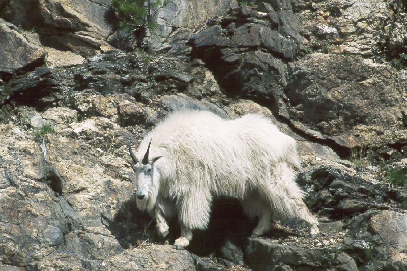 A mountain goat (Ronald).