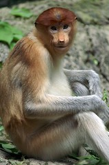 Proboscis Monkey at Singapore Zoo (dbillian) Tags: nature animal animals zoo monkey singapore wildlife monkeys damon zoos proboscis damonbillian specanimal animalkingdomelite billian