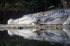 Crocodile at the Singapore Zoo (dbillian) Tags: nature animal animals zoo singapore wildlife crocodile damon zoos damonbillian billian