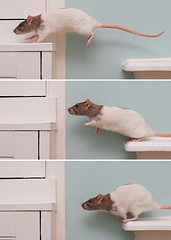 Ratapult (dallsoppuk) Tags: pet pets cute jump jumping rat action dot rats sequence