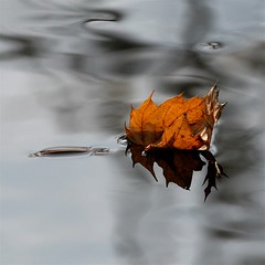 on this wayward floating body (jude) Tags: autumn macro reflection eye square canal leaf bravo searchthebest bokeh quality floating 2006 explore jude judith soe squared interestingness2 meskill judithmeskill firstquality explorepage magicdonkey instantfave outstandingshots mywinners abigfave artlibre flickrgold 30faves30comments300views anawesomeshot highestposition2onsaturdaynovember252006 magicdonkey25 50faves50comments500views bppslideshow judeonflickr