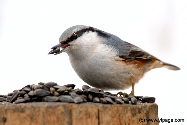 A bird (nuthatch) on a birdfeeder
