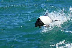 jumping the wave (Fredww) Tags: patagonia argentina dolphin wildlife madryn puertomadryn tonina naturesfinest commersondolphin