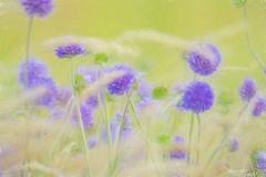 Windy meadow (Maurizio Scotsman De Vita) Tags: natura piante vegetables scotland fiori unst nature burrafirthbeach shetlandislands plantsflowers vegetali vegetation scozia vegetazione flowers mixedmedia