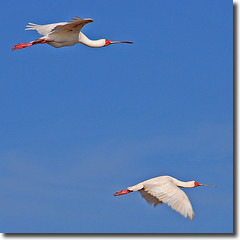 African Spoonbills (jay_kilifi) Tags: blue red white birds kenya flight mangroves 18200vr midacreek doublebeauty bluex